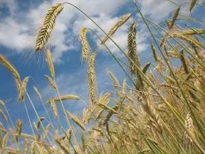 小麦の特徴
