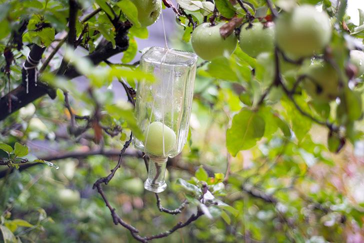 ボトルの中で成長する梨