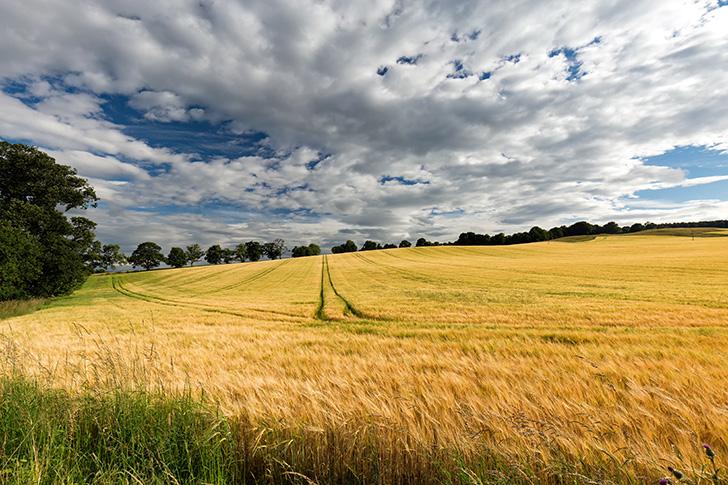 スコットランドの大麦畑