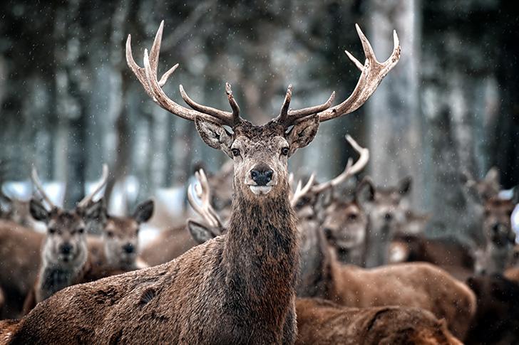 ジュラ島の鹿