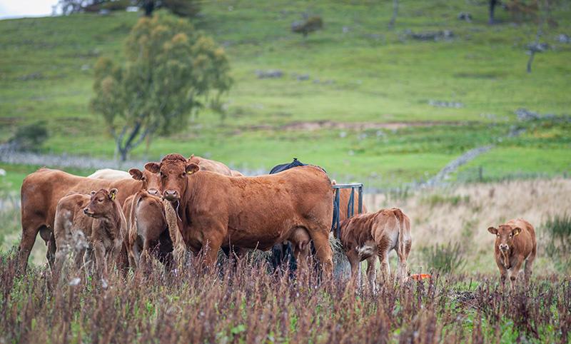 たくさんのアンガス牛